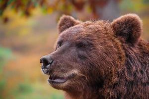Kamchatka brown bear photo