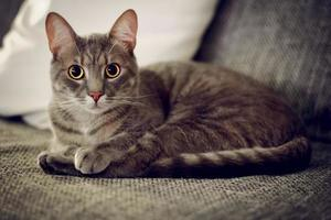 Portrait of a cat. Cat laying on the bed, looking at the camera, low light environment, shallow deep of field. photo