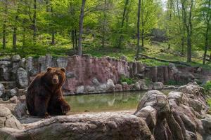 Bear in Zoo photo