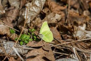Gonepteryx rhamni on flower photo