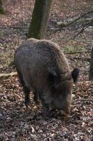 Wild boar in nature photo