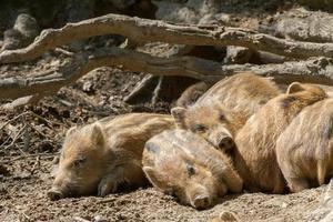 Wild boar sleeping photo
