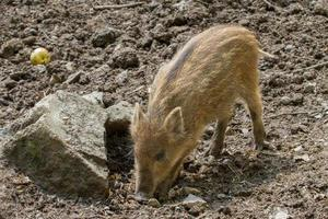 Portrait of Wild boar photo