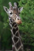 primer plano de jirafa reticulada foto