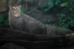 European wildcat behind log photo
