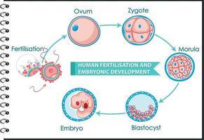 Human fertilisation and embryonic development vector