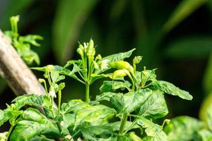 Chilli pepper tree growing in the backyard vegetable garden. Organic vegetable concept. photo