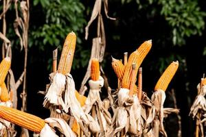 Dry corn cob with mature yellow corn growing ready for harvest in an agricultural field. photo