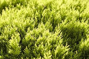 Cerrar imagen de una planta de hoja perenne bajo la brillante luz del sol foto