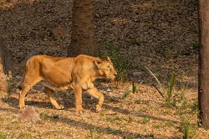 Lion at Zoo photo