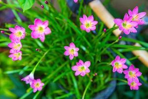 hermosa flor de lirio de lluvia rosa foto