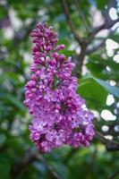 Fresh lilac flowers bunch with green leaves background photo
