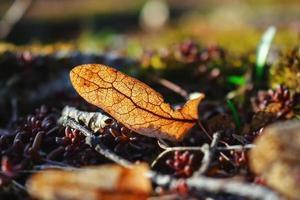 Semilla de tilo seco viejo tumbado en el suelo sobre hojas secas y suculentas rojas foto
