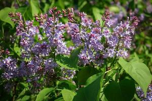 Fresh lilac flowers with green leaves background photo