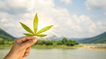 The use of non-psychoactive cannabidiol CBD in medicine.The cannabis leaf on hand includes a natural background to the concept of cannabis use for medical purposes. photo