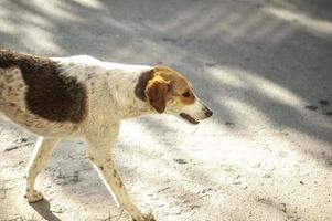 A white homeless dog with ginges spots walking in the street photo