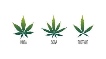Set of cannabis leafs, sativa, indica and ruderalis isolated on a white background vector