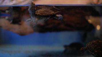 Pond Turtle in Terrarium video
