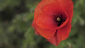 uma flor de papoula vermelha em um campo video