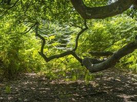 ramas de roble antiguo en un bosque foto