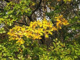 hojas de roble que se vuelven anaranjadas en otoño foto