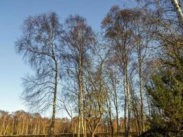 Abedules plateados en invierno con un cielo azul foto