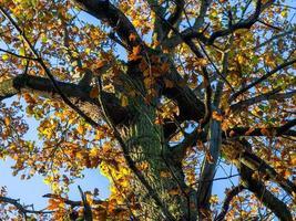 Roble con follaje de otoño en la luz del sol foto