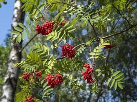 Rowan tree red berries and green leaves photo