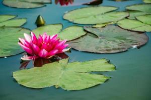 Pink lotuses in clear water. Water lilies in the pond. photo