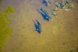 peces grandes nadan en agua clara en un estanque. el bagre come comida. foto