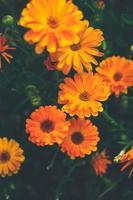 hermoso fondo de calendula officinalis foto
