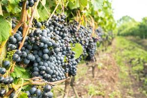 Grapes Closed Up photo