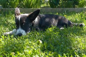 Puppy Welsh Corgi cardigan is lying on the grass. A pet. A beautiful thoroughbred dog. The concept of the artwork for printed materials. Article about dogs. A small puppy on a walk . Corgi dog. Green photo