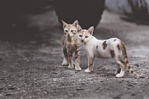 dos gatos en una relación muy complicada. dos gatos domésticos que se divierten juntos al aire libre. foto
