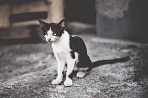 gato blanco y negro mirando a un lado. joven gato doméstico griego en su patio trasero. foto