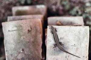 Lizard, Podarcis muralis laying on old rustic bricks in the natural environment. photo
