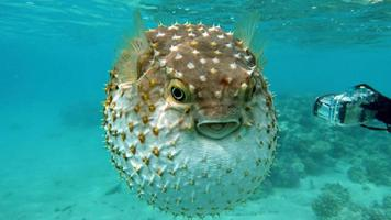 Fish hedgehog. Yellow-spotted cyclicht - grows up to 34 cm, feeds on crustaceans and molluscs. In case of danger, it takes the form of a ball, bristling spines. photo
