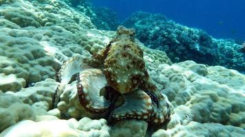 Octopus. Big Blue Octopus on the Red Sea Reefs. photo