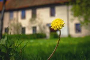 Diente de león amarillo de tallo largo que florece en la hierba verde cerca de la pradera en frente del edificio antiguo foto