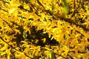 Seto de forsythia amarillo en flor con una gran densidad floral foto