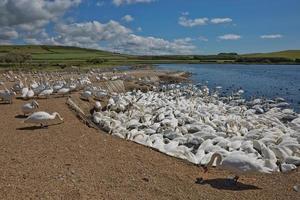 Bandada de cisnes en Abbotsbury Swannery en Dorset, Reino Unido foto