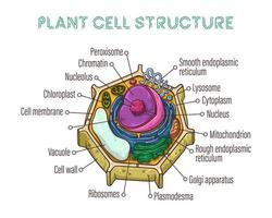 Vector sketching illustrations. Schematic structure of plant cell.