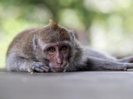 mono en el bosque de monos de ubud foto