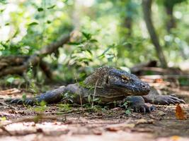 Monitor Lizard on Komodo Island in Indonesia photo