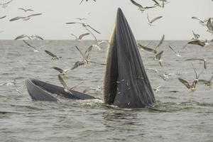 Bryde's whale, Eden's whale, Eating fish at gulf of Thailand. photo