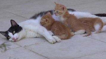 Mother Cat Breastfeeding Her Kitten On A Concrete Floor video