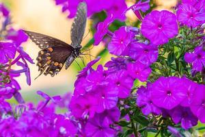 Black swallowtail butterfly perched on purple phlox flowers in garden photo