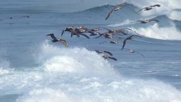 en flock pelikaner flyger över Stillahavet. video