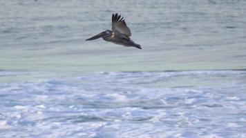 pelikaner flyger över Stilla havet. video