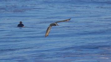 pelikaner flyger över surfare och Stilla havet. video